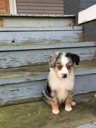 australian shepherd miniature meet sweetie my new mini australian shepherd http ift tt 2fyedes