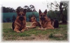 australian shepherd puppies queensland german shepherd dogs puppies nsw australia eternbur german
