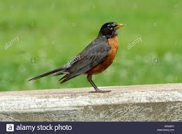 Connecticut birds images Red breasted robin is the state bird of wisconsin connecticut jpg