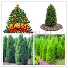 spruce trees sale promotion shop for promotional spruce trees sale