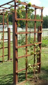 Growing Grapes Trellis 28 Best How To Grow Grape Vine Images On Pinterest Grape Vines