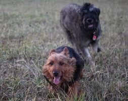 australian shepherd vs husky australian terrier dog breed information pictures