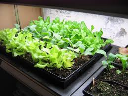 growing a winter indoor salad garden u2013 the basics growing north