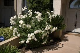 organic garden dreams rose of the month u0027iceberg u0027