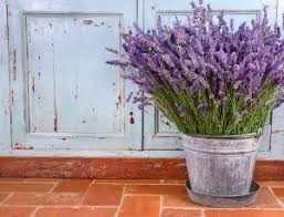 Fragrant Plants For Pots - fragrant plants that repel mosquitoes