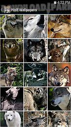 imagenes sorprendentes de lobos wolf wallpapers android aplicación gratis descargar apk