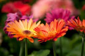 Gerbera Daisies Gerbera Daisy How To Grow Indoors Gardens Com
