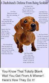 Dachshund Meme - a dachshund s defense from being scolded the blank look they will