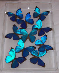 iridescent blue morpho by butterflyartwork my style pinterest