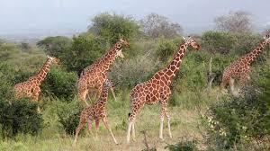 giraffe san diego zoo animals u0026 plants