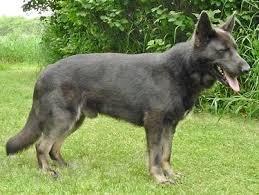 weimaraner vs afghan hound dog coat colour genetics