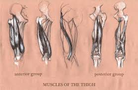 michele giorgi illustrator anatomy sketches muscle of the thigh