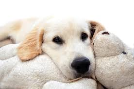 golden retriever puppy stock photo image of doggy nose 36922978