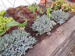 using perennials in containers urban edible