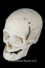 human skulls for sale the bone room