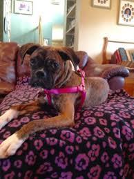 rescue a boxer dog alice pa adopt a boxer rescue