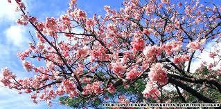 japanese cherry tree cherry blossom festival japanese cherry
