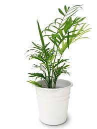 indoor plants singapore house plants that clean air gardening in singapore
