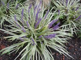 feature plant liriope muscari variegata a guide to landscape