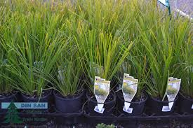 and ornamental grasses din san nurseries product ods