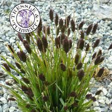 sesleria heufleriana ornamental grass 10 seeds uk seller