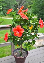 Braided Hibiscus Tree Pictures by Saturday Domestic Dilettante