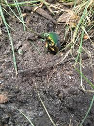 nature in your backyard green june beetles u2013 your wild life
