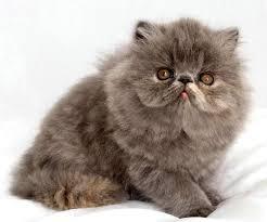 Sho Kucing Anti Jamur kucing ocicat cat ocicat jenis kucing g1 kucing biz