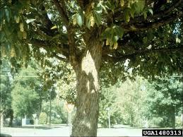isu forestry extension tree identification ironwood ostrya