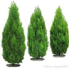 discount cypress trees 2017 cypress trees on sale at dhgate