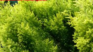 leighton green hedging cypress hello how to plant leyland cypress for privacy leighton green hedging