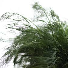 harvesting dill how to dry dill weed and seeds