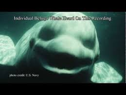 Whaling Meme - nice whaling meme researchers find a whale trying to speak human