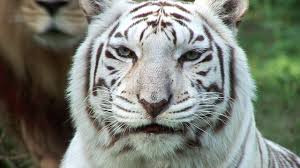white tigers cruelty not conservation