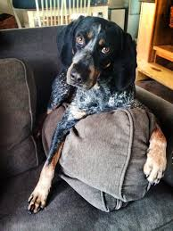 bluetick coonhound apparel best 25 bluetick coonhound ideas on pinterest hound dog breeds