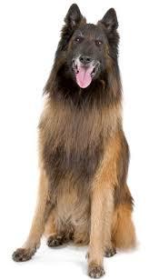belgian sheepdog hypoallergenic belgian tervuren information facts pictures training and grooming