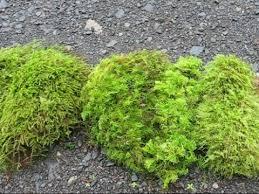 sheet moss feather or fern moss tree moss at www mossunlimited net