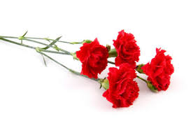 carnations flowers grower direct flower varieties carnations and mini carnations