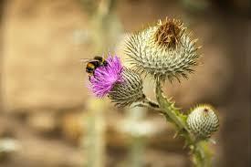 thistle national flower of scotland visitscotland