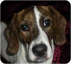 bluetick coonhound kennels in pa daisy mae adopted dog hamburg pa beagle treeing walker