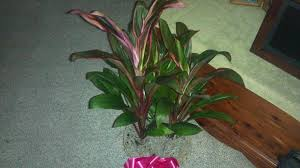 cordyline houseplant identification flower shop network