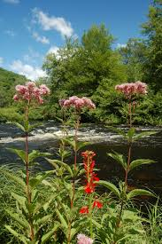 native plants of tennessee an introduction to joe pye ecological landscape alliance