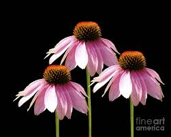 Echinacea Flower Triple Purple Echinacea Flowers Digital Art By Cathy Beharriell