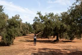 a cultural landscape of millenary olive trees spain