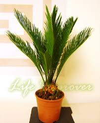 indoor palm 1 king sago palm cycas revoluta in pot indoor office house plant