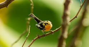 Canopy Birds by In Colombia Shade Grown Coffee Sustains Songbirds And People