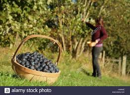 edible fruits foraging for edible fruits in a hedgerow in the stock