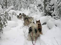 freighting dogs where it all began mushing com the online