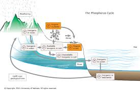 the phosphorus cycle u2014 science learning hub