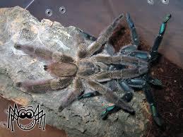 tapinauchenius sanctivincenti mating madárpókok tarantulas